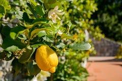 柠檬树用成熟果子在地中海,意大利附近的意大利庭院里 免版税库存图片