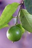 柠檬树用果子 免版税库存照片