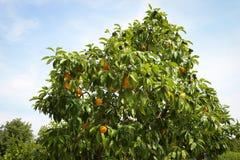 柠檬树用黄色柠檬 免版税图库摄影
