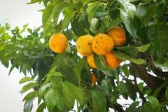 柠檬树用黄色柠檬 免版税库存图片