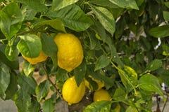 柠檬树用绿色留下的黄色柠檬 库存图片