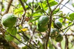 柠檬树,似亚马逊雨林 免版税库存照片