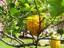 柠檬树细节  免版税库存照片