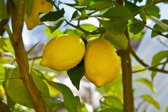 柠檬树 免版税库存图片