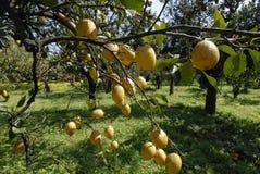 柠檬树 库存照片