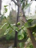 柠檬植物的树 库存照片