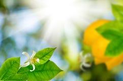 柠檬的图象在一个分支的在庭院特写镜头 免版税库存照片