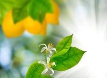 柠檬的图象在一个分支的在庭院特写镜头 免版税库存图片