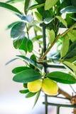 柠檬盆栽植物 库存图片