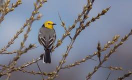 柠檬色令科之鸟- Motacilla citreola -男性 库存图片