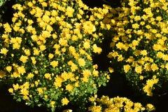 柠檬菊花花  库存图片