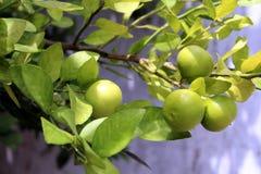 柠檬被暴露在柠檬树,准备好被收获 免版税库存图片