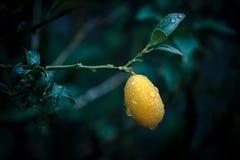 柠檬金桔cumquat柑橘japonica 库存照片