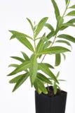 柠檬马鞭草属植物厂新鲜的叶子 免版税库存照片