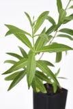 柠檬马鞭草属植物厂新鲜的叶子 库存图片