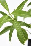柠檬马鞭草属植物厂新鲜的叶子 库存照片