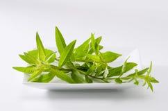 柠檬马鞭草属植物叶子 图库摄影