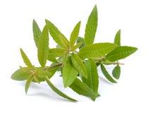 柠檬马鞭草属植物 免版税库存照片
