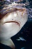 柠檬鲨鱼 免版税库存照片