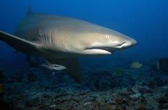 柠檬鲨鱼 免版税图库摄影