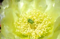 柠檬黄色的仙人掌 免版税库存照片