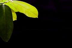 柠檬绿色叶子在黑背景背景的 免版税库存图片