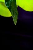 柠檬绿色叶子在黑背景背景的 库存图片