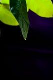 柠檬绿色叶子在黑背景背景的 免版税库存照片