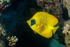 柠檬蝴蝶鱼 免版税库存照片