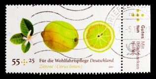 柠檬- Citrus Limon,福利:结果实serie,大约2010年 图库摄影