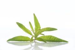 柠檬vervain, naturopathy马鞭草属植物的精油 免版税库存照片