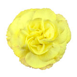 查出一点的花上升了空白黄色 库存照片