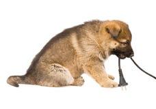 查出在空白小狗的护羊狗 免版税库存图片