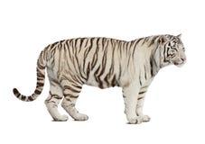 查出在老虎白色 免版税图库摄影