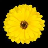 查出的一朵开花的黄色金盏菊花 库存照片