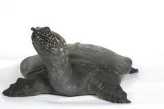 查出的中国软的壳乌龟 库存图片