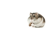 查出的仓鼠 免版税库存照片