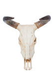 查出的公牛头骨 库存图片
