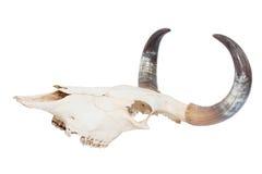 查出的公牛头骨 图库摄影