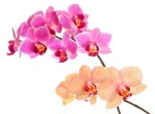 查出的兰花兰花植物白色 库存图片