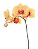 查出的兰花兰花植物空白黄色 库存照片