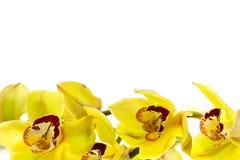 查出的兰花黄色 免版税库存照片