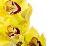 查出的兰花黄色 库存图片