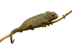 查出的分行变色蜥蜴 免版税库存图片