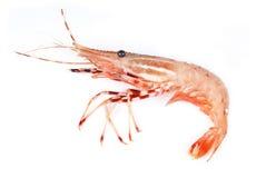 查出的原始的虾白色 库存图片