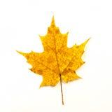 查出的叶子槭树空白黄色 库存照片