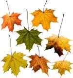 查出的叶子槭树集合白色 免版税库存图片