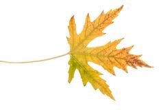 查出的叶子槭树 绿色黄色 秋天 免版税库存图片