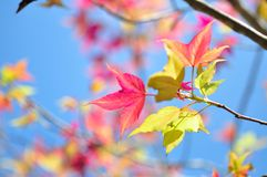 查出的叶子槭树 免版税图库摄影