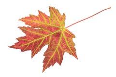 查出的叶子槭树 免版税库存图片